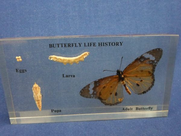 Butterfly Life Cycle - Embedded