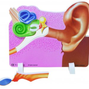 Book Plus Foam Model: Ear Book Plus Foam Model, Ear Foam Model, Foam Model, Ear