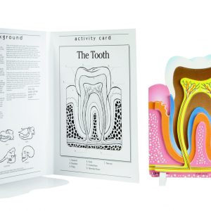 Book Plus Foam Model: Tooth