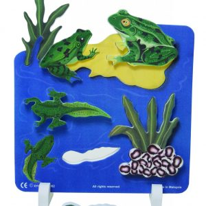 Book Plus Foam Model: Life Cycle of A Frog
